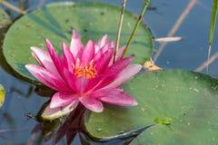 Piękne różowe wodne leluje w jeziorze otaczającym płochami obraz royalty free