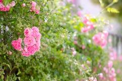 Piękne różowe wspinaczkowe róże w wiośnie w ogródzie zdjęcie royalty free