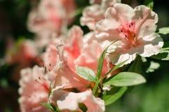 piękne różowy kwiat Zdjęcia Stock