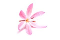 piękne różowy kwiat Fotografia Royalty Free