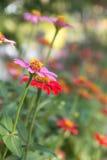 piękne różowy kwiat Zdjęcie Stock