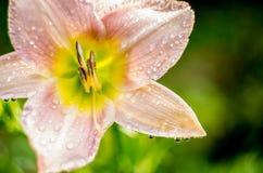 piękne różowy kwiat Obrazy Royalty Free