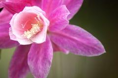 piękne różowy kwiat Zdjęcie Royalty Free