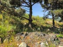 Piękne sosny, zielona trawa i kwiaty blisko drogi, Zamyka w górę strzału wiecznozieloni drzewa Zdjęcia Stock