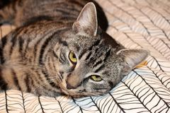 Piękne szarość pstrzyli kota z żółtymi oczami obraz stock