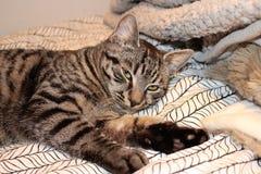 Piękne szarość pstrzyli kota z żółtymi oczami zdjęcia royalty free