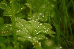 Piękne wodne kropelki na liściach damy salopa zdjęcia royalty free