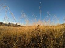 Piękne złote traw słoma na polu Zdjęcie Stock