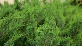 Piękne zielone gałąź cyprys, arborvitae ruch w wiatrze Ogród, lato, zakończenie zdjęcie wideo