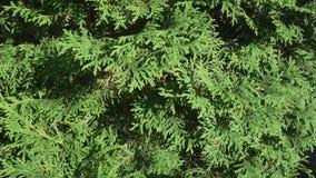 Piękne zielone gałąź tuja zaopatrują materiału filmowego wideo zbiory
