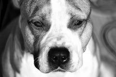 Pięknego amerykańskiego pit bull teriera czarny i biały fotografia fotografia royalty free