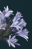 Pięknego błękitnego kwiatu zbliżenia retro styl Obraz Royalty Free
