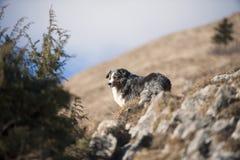 Pięknego błękitnego merla Australijski Pasterski pies obrazy royalty free
