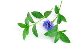 pięknego błękitny kwiatu odosobniony biel obrazy stock