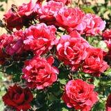 pięknego bokeh ogródu światła naturalne fotografii róże Zdjęcia Royalty Free
