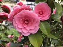 pięknego bokeh ogródu światła naturalne fotografii róże Zdjęcia Stock