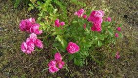 pięknego bokeh ogródu światła naturalne fotografii róże Zdjęcie Royalty Free