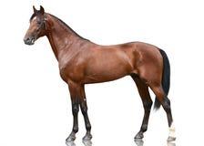 Pięknego brązu sporta końska pozycja odizolowywająca na białym tle Boczny widok obraz royalty free