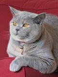 pięknego brytyjskiego kota relaksujący shorthair Zdjęcie Stock