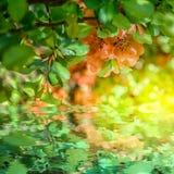 Pięknego chaenomeles japonica kwiatonośnej pigwy kwiatu Japoński okwitnięcie, wodny odbicie, światło 8 karciany eps kartoteki pow Zdjęcia Stock