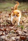 Pięknego czerwonego kota łowieckie myszy w jesień lesie zdjęcie royalty free