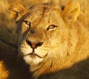 Pięknego dorosłego lwa głowy męska nauka obrazy stock