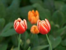 Pięknego duetu czerwoni i pomarańczowi tulipany w ogródzie fotografia stock