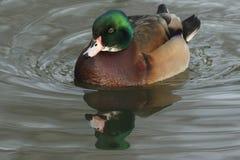 Pięknego dzikiego przecinającego trakenu Drewnianej kaczki lub Karolina kaczki Aix sponsa męski dopłynięcie na rzece Zdjęcia Stock