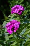Pięknego kolorowego Dianthus kwiatu Dianthus chinensis, Słodki barbatus, William lub Dianthus zdjęcia royalty free