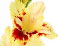 Pięknego kolorowego gladiolusa odosobniony tło Zdjęcie Royalty Free