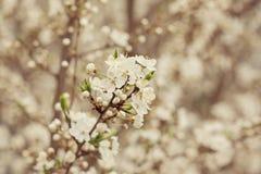 Pięknego kraba czereśniowy drzewo kwitnie przeciw białemu natury tłu Zdjęcia Royalty Free