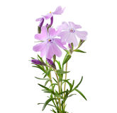 pięknego kwiatów floksa mały subulata Obraz Stock