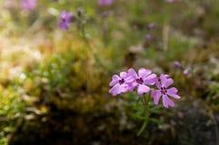 pięknego kwiatów floksa mały subulata Zdjęcia Royalty Free