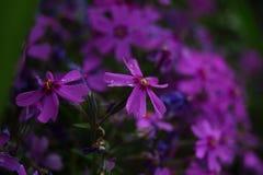 pięknego kwiatów floksa mały subulata Obraz Royalty Free