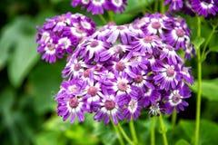Pięknego kwiatu bukieta fiołkowy kolor z zielenią opuszcza w ogródzie Obraz Royalty Free