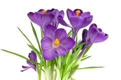 pięknego kwiatu odosobniony fiołkowy biel zdjęcia stock