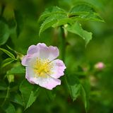 Pięknego kwiecenia różany krzak Naturalny kolorowy t?o pometum fotografia stock