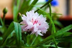 Pięknego lato kwiatu okwitnięcia chabrowe menchie barwią makro- Fotografia Stock