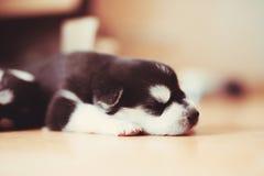 Pięknego małego szczeniaka Syberyjski husky obraz stock