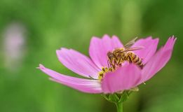 Pięknego menchia kwiatu miodowa pszczoła na kwiatu gromadzenia się miodu zieleni backgroud naturze Obrazy Royalty Free