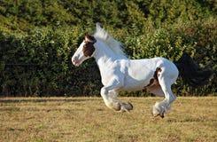 Pięknego obrazu koński bieg na polu Obraz Stock