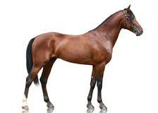 Pięknego podpalanego sporta końska pozycja odizolowywająca na białym tle Boczny widok zdjęcia royalty free