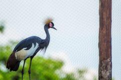 pięknego portreta afrykanina Koronowany żuraw Obrazy Stock