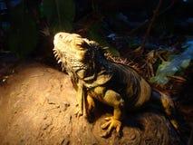 Pięknego potwora Wodny smok Australia fotografia stock