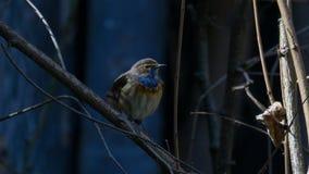 pięknego ptasiego siedliska luscinia naturalna natury fotografia śpiewa dzikiej przyrody wiosna pieśniowemu svecica obraz stock