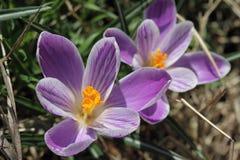 Pięknego purpurowego krokusa makro- zbliżenie Zdjęcie Royalty Free