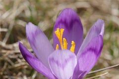 Pięknego purpurowego krokusa makro- zbliżenie Obrazy Royalty Free