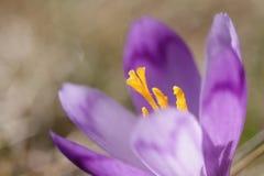 Pięknego purpurowego krokusa makro- zbliżenie Zdjęcia Stock