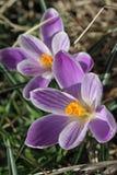 Pięknego purpurowego krokusa makro- zbliżenie Obraz Royalty Free