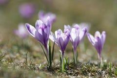 Pięknego purpurowego krokusa makro- zbliżenie Zdjęcia Royalty Free